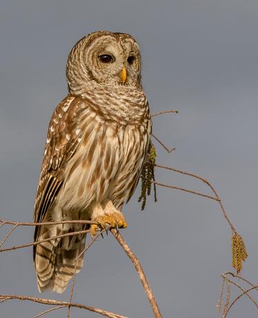 Branch「Barred Owl」:スマホ壁紙(19)