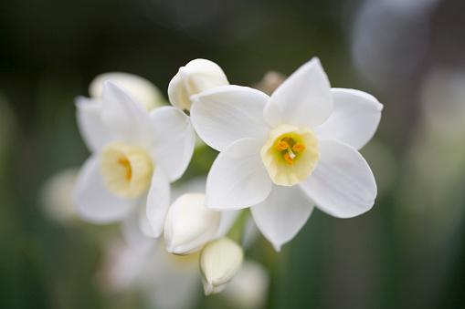 水仙「Daffodil」:スマホ壁紙(11)