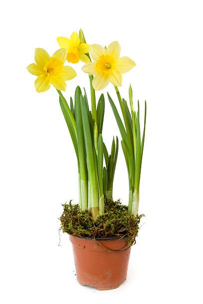 Daffodil:スマホ壁紙(壁紙.com)