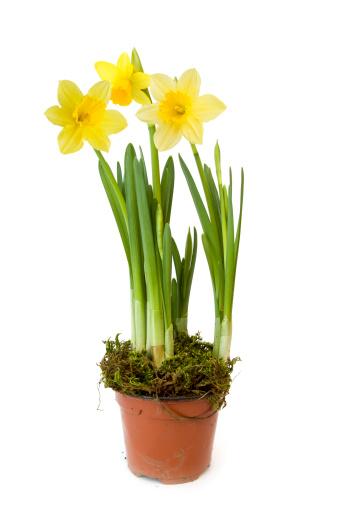 水仙「Daffodil」:スマホ壁紙(0)