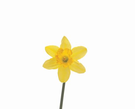 ラッパズイセン「Daffodil」:スマホ壁紙(6)