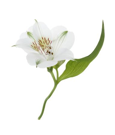 Alstroemeria「Dainty Alstroemeria flower & leaf on white.」:スマホ壁紙(17)