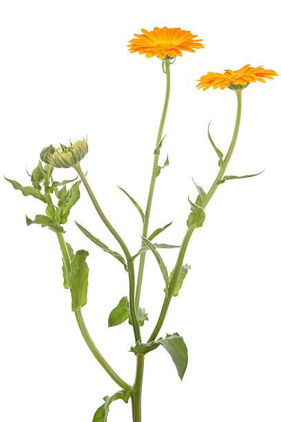 calendula officinalis (pot marigold) isolated on white:スマホ壁紙(壁紙.com)