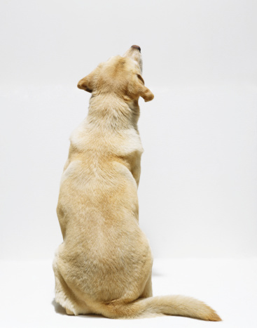 Sitting「Yellow Labrador retriever looking upwards, rear view」:スマホ壁紙(12)