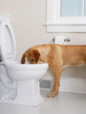Humor「Yellow labrador retriever drinking out of a toilet」:スマホ壁紙(15)