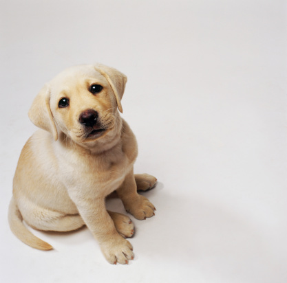 Baby animal「Yellow Labrador Puppy」:スマホ壁紙(6)