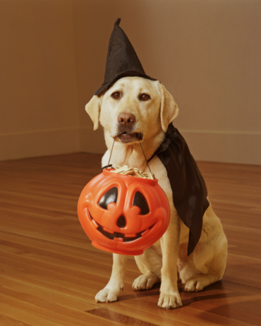 Cape - Garment「Yellow Labrador wearing Halloween costume」:スマホ壁紙(12)
