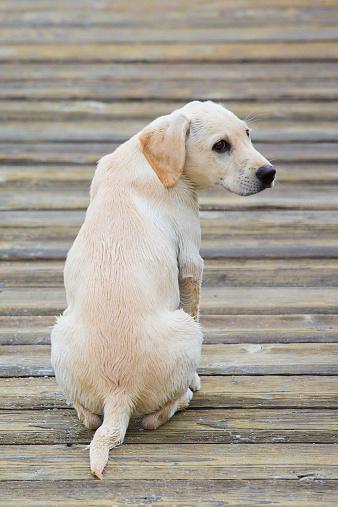 犬「Yellow Labrador Retriever puppy」:スマホ壁紙(9)