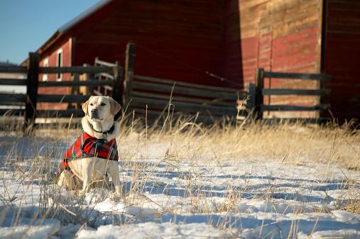 Dog Coat「Yellow Labrador retriever sitting on snow-covered ground beside barn」:スマホ壁紙(13)