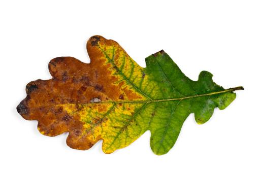 Oak Leaf「oak leaf in fall」:スマホ壁紙(18)