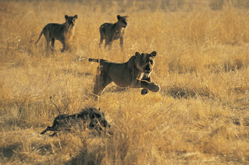 Animals Hunting「Lions and Warthog」:スマホ壁紙(8)