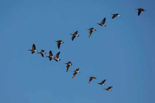 Arrangement「Cackling Geese - Branta hutchinsii」:スマホ壁紙(18)