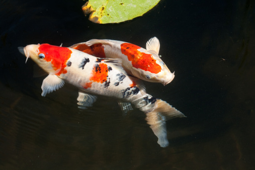 Carp「Two entwined koi fish in a dark pond」:スマホ壁紙(9)