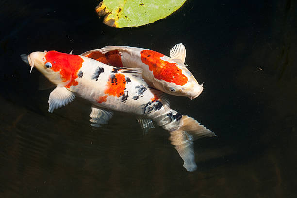 Two entwined koi fish in a dark pond:スマホ壁紙(壁紙.com)