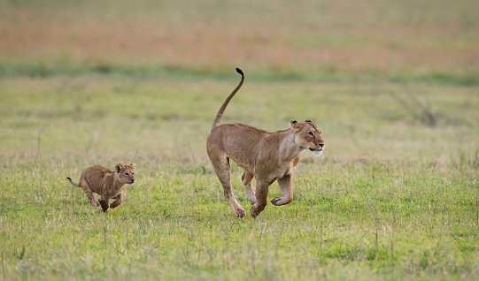 Animals Hunting「Female lion running with baby, Africa」:スマホ壁紙(15)