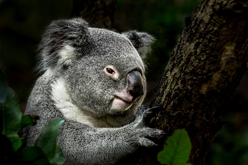 Wildlife Reserve「Koala on eucalyptus tree」:スマホ壁紙(18)