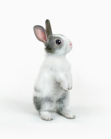 Rabbit - Animal「A rabbit standing」:スマホ壁紙(7)