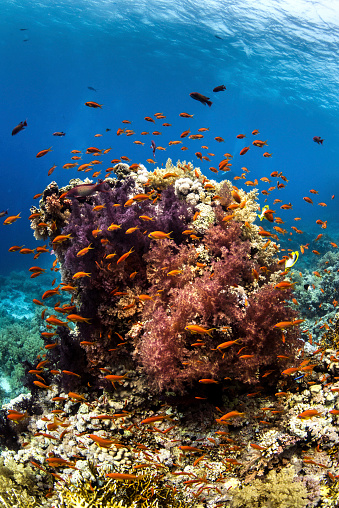 Hawksbill Turtle「Anthias fish surround a coral bommie in the Red Sea.」:スマホ壁紙(8)