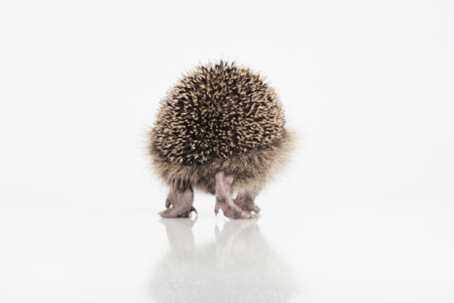 ハリネズミ「Hedgehog walking on white background」:スマホ壁紙(19)