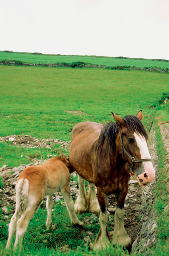 マン島「Mare feeding its foal, Cregnesh, Isle of Man, British Isles」:スマホ壁紙(12)