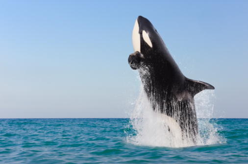 Three Quarter Length「Orca jumping out of water.」:スマホ壁紙(1)