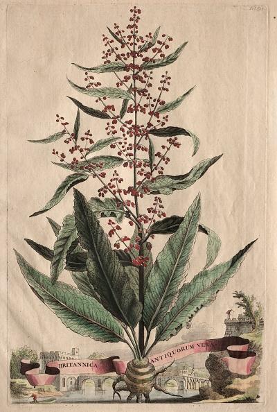 Etching「Phytographia Curiosa: Britannica Antiquorum Vera. Creator: Abraham Munting (Dutch」:写真・画像(18)[壁紙.com]
