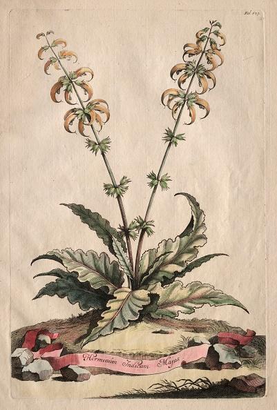 Etching「Phytographia Curiosa: Horminum Indicum Majus. Creator: Abraham Munting (Dutch」:写真・画像(19)[壁紙.com]