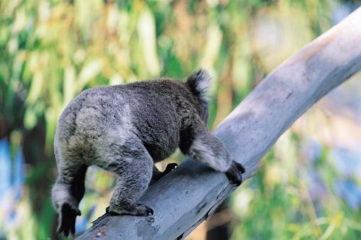 コアラ「Koala Climbing Tree」:スマホ壁紙(12)