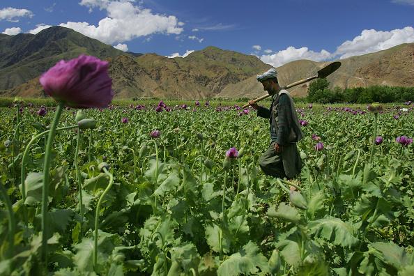 Taliban「Poppy Growth Rate in Badakhshan Region is Down」:写真・画像(19)[壁紙.com]