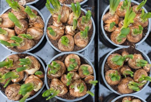 Crocus「Flowerpots with corms of hyacinths」:スマホ壁紙(6)