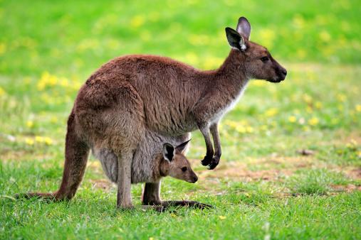 カンガルー「Kangaroo Island kangaroo」:スマホ壁紙(15)
