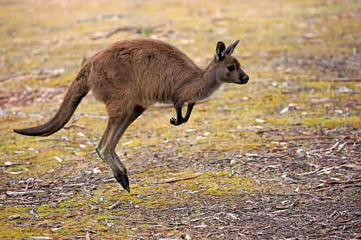 カンガルー「Kangaroo Island Kangaroo, (Macropus fuliginosus)」:スマホ壁紙(18)