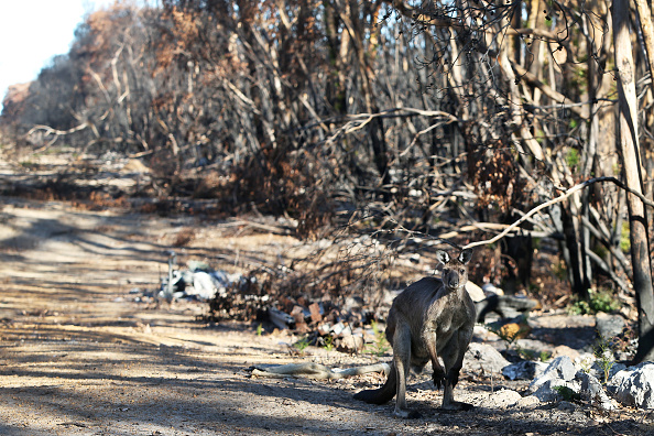 Kangaroo Island「Kangaroo Island Begins Recovery Process Following Devastating Bushfire Season」:写真・画像(12)[壁紙.com]