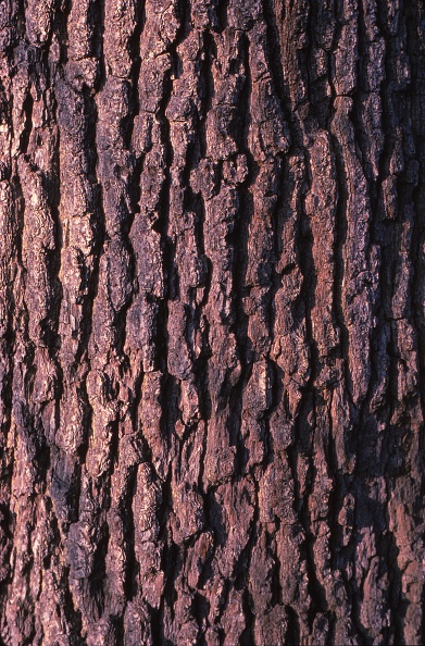Full Frame「Oak Tree Bark」:写真・画像(1)[壁紙.com]