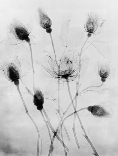 X-ray Image「X-Ray Eight Roses」:写真・画像(10)[壁紙.com]