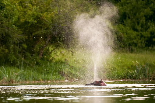 Queen Elizabeth National Park「Hippo spraying water in the Kazinga Channel, Queen Elizabeth National Park, Uganda, Africa」:スマホ壁紙(18)