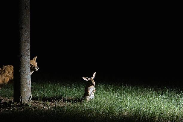 Fox stalking rabbit:スマホ壁紙(壁紙.com)