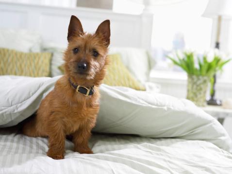 Duvet「Terrier Emerging From Under a Duvet」:スマホ壁紙(6)