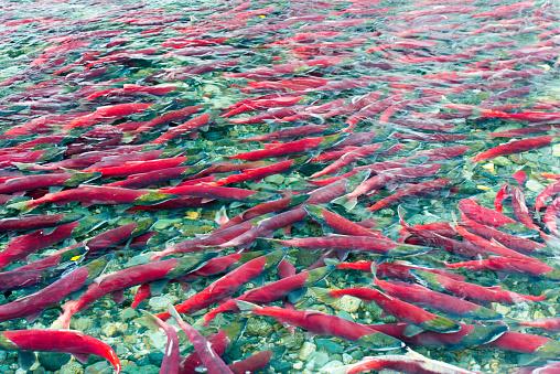 Shallow「Group of sockeye salmon in shallow water」:スマホ壁紙(3)