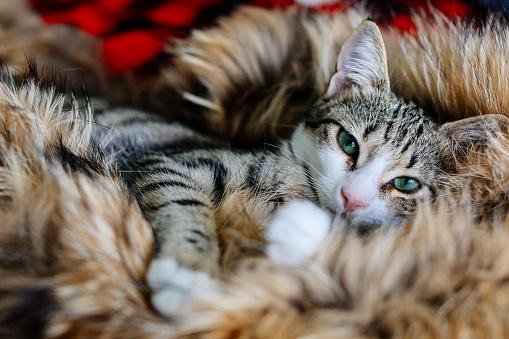 シャムネコ「緑色の目をした猫がカメラを見る」:スマホ壁紙(15)