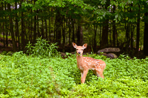 Baby animal「Deer Fawn in the Forest of the Catskill Mountains in New York State USA」:スマホ壁紙(4)