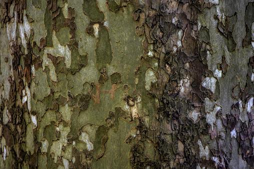 セイヨウカジカエデ「Sycamore bark.」:スマホ壁紙(8)