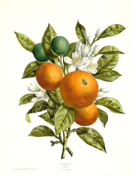 Illustration「Citrus Aurantiacus (Orange)」:写真・画像(6)[壁紙.com]