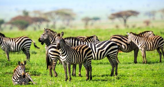 Eco Tourism「Zebras with African Acacia Trees at Savannah」:スマホ壁紙(8)