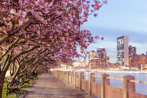 夜桜「NYC Spring Cherry Blossoms on Roosevelt Island Manhattan View Dusk」:スマホ壁紙(6)