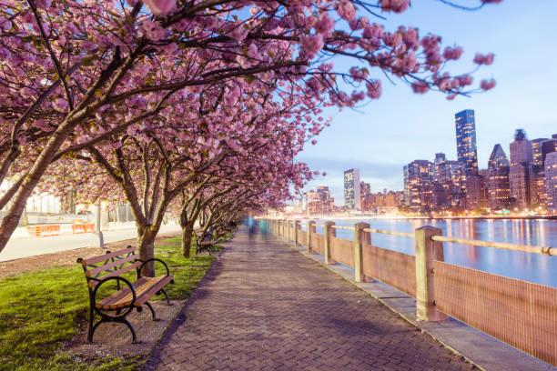 NYC Spring Cherry Blossoms on Roosevelt Island Manhattan View Dusk:スマホ壁紙(壁紙.com)