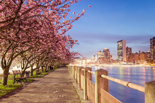 桜「NYC Spring Cherry Blossoms on Roosevelt Island Manhattan View Dusk」:スマホ壁紙(18)