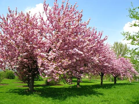 サトザクラ「春の桜」:スマホ壁紙(17)