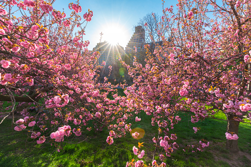 Cherry Tree「Late afternoon sunlight illuminates the Cherry blossoms trees in the Central Park, from behind the architectures in the Central Park West Historic District of New York.Cherry blossom,Central Park, Manhattan New York,Springtime」:スマホ壁紙(19)