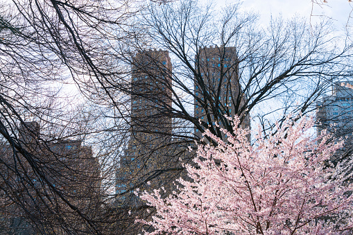 桜「Late afternoon sunlight illuminates the Cherry blossoms tree at Central park New York. Central Park West Historic Residences can be seen behind.」:スマホ壁紙(5)